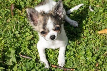 Tier Chihuahua Dog Puppy Baby Play - Didgeman / Pixabay