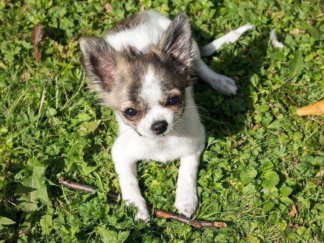 Tier Chihuahua Dog Puppy Baby Play - Didgeman / Pixabay