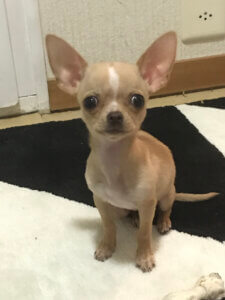 Chihuahua Reine